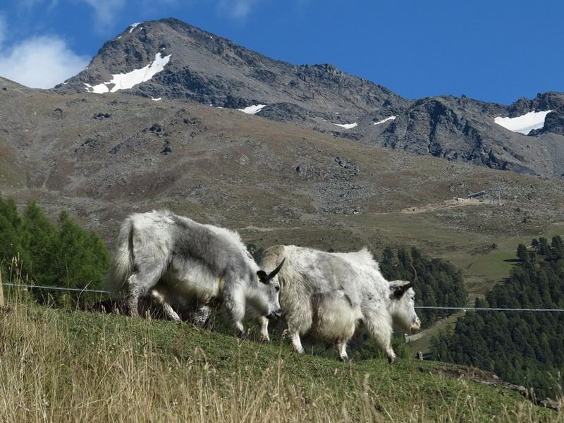 Suldener Yaks