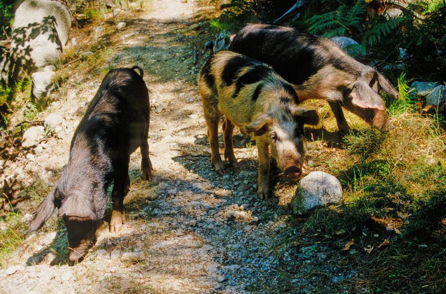 Halbwilde korsische Hausschweine