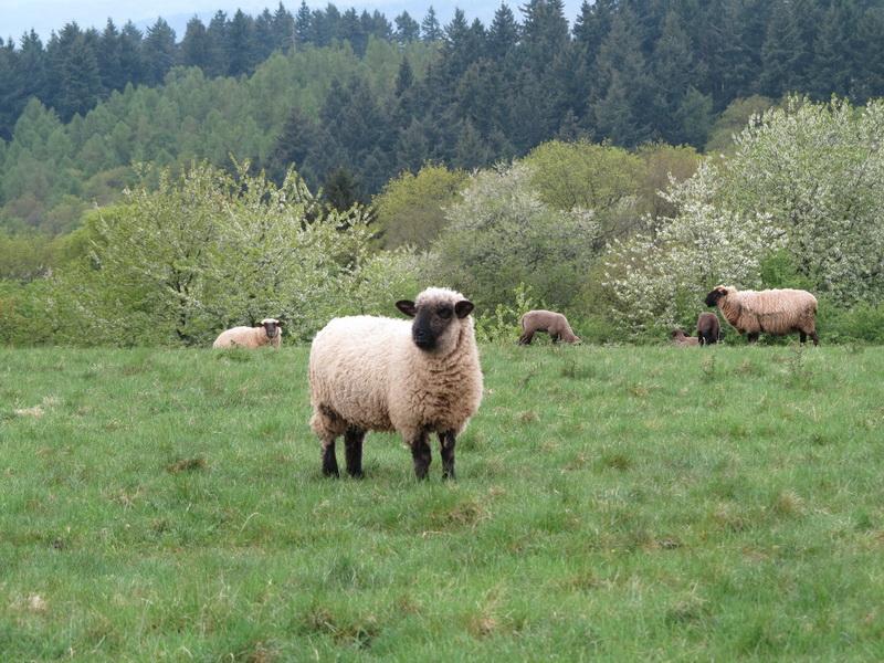 Schafe mit Lämmern am Mehringer Berg