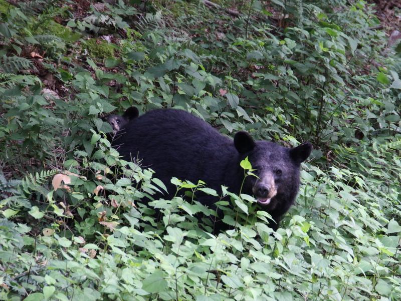 Schwarzbär mit Nachwuchs im Shenandoah NP