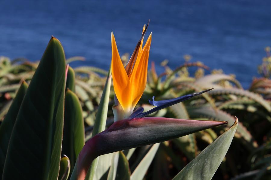 Strelitzie (Paradiesvogelblume)