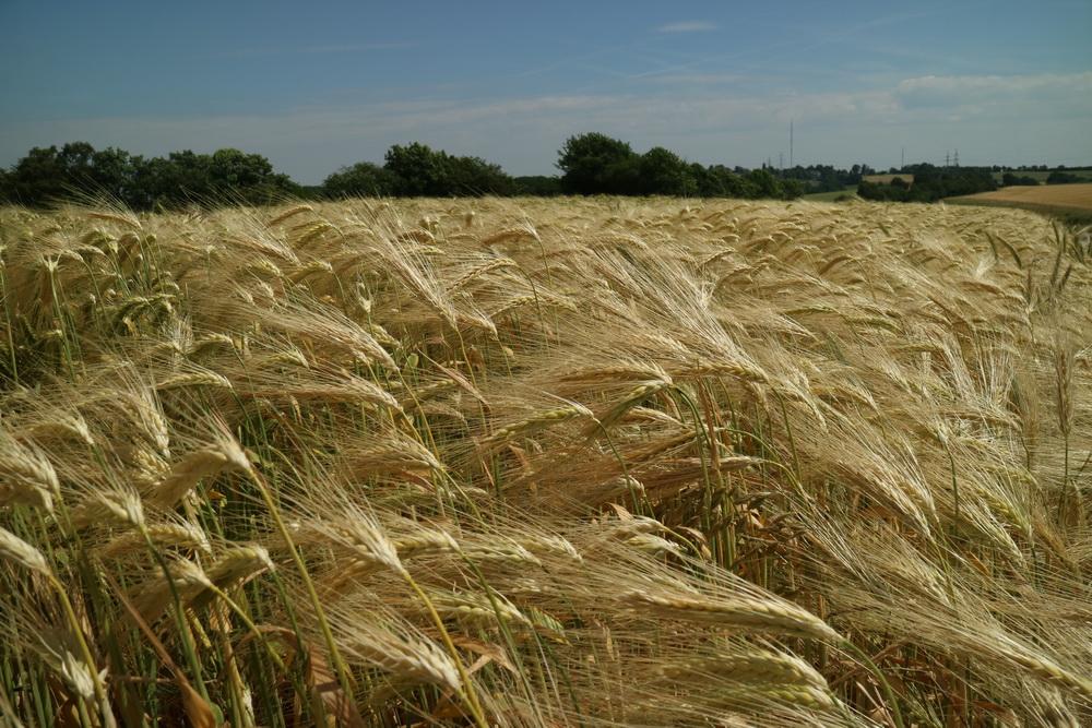 Getreidefeld mit Langenberger Sender