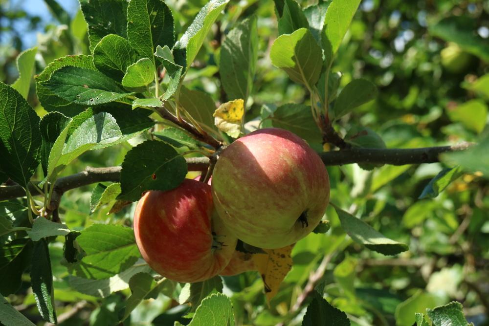 Deutsche Äpfel