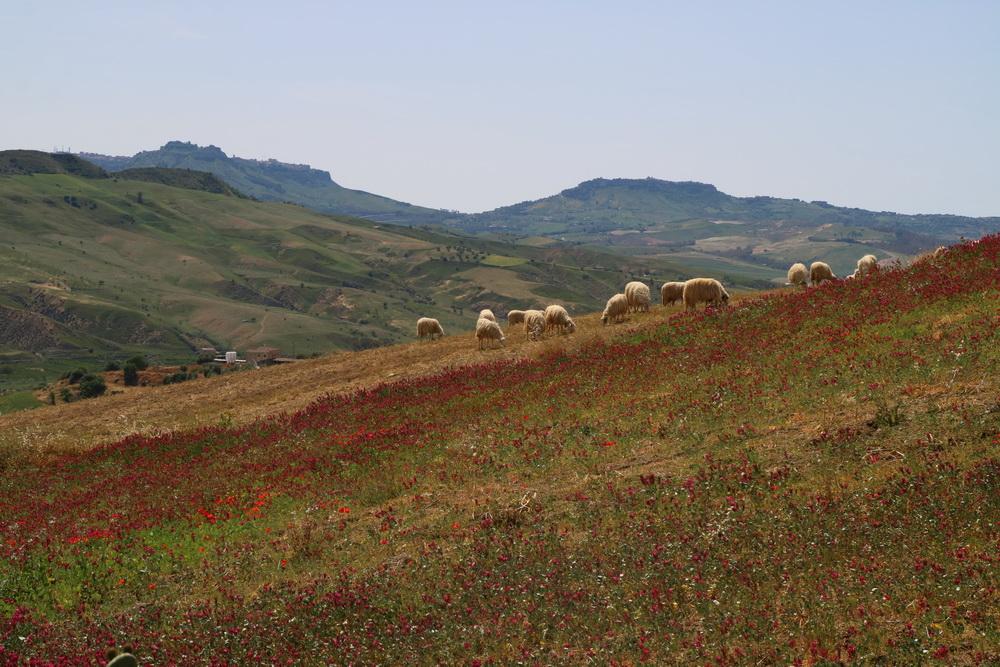 Landschaft mit Schafen bei Enna
