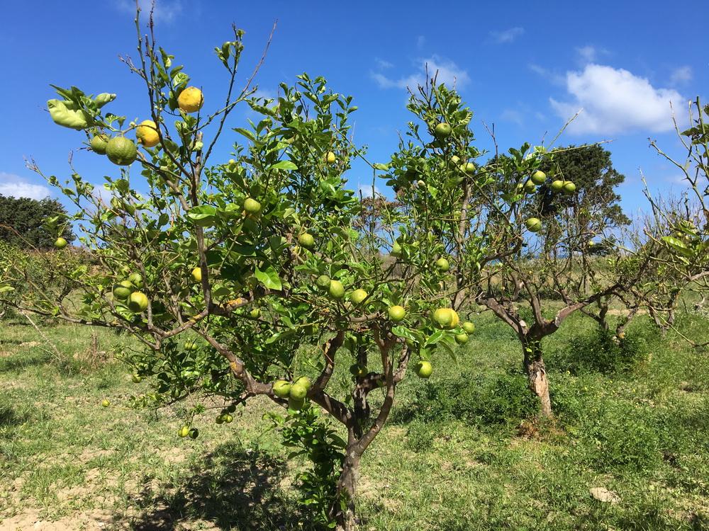 Limonade dierkt vom Baum