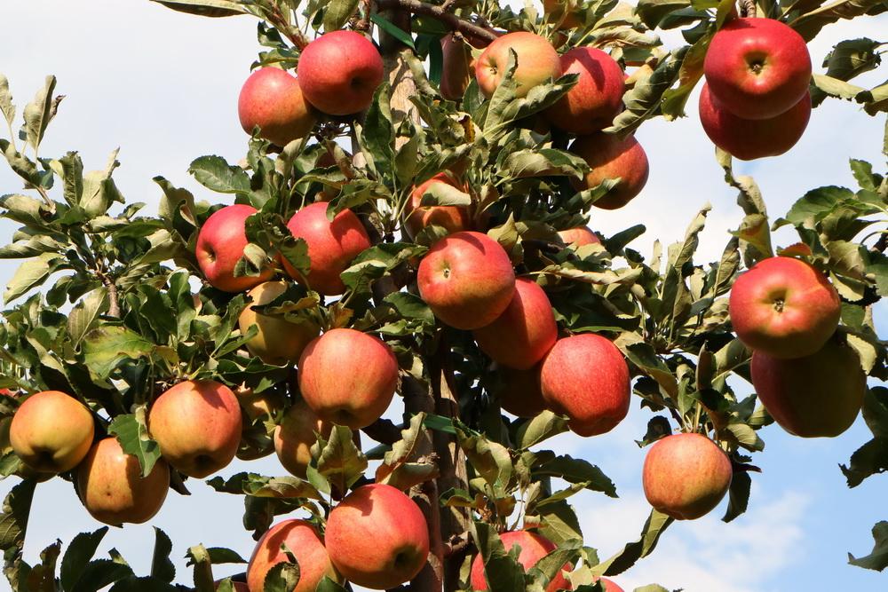 Vinschgauer Äpfel