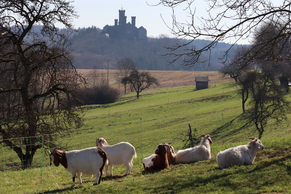 Ziegen vor Burg Balduinstein
