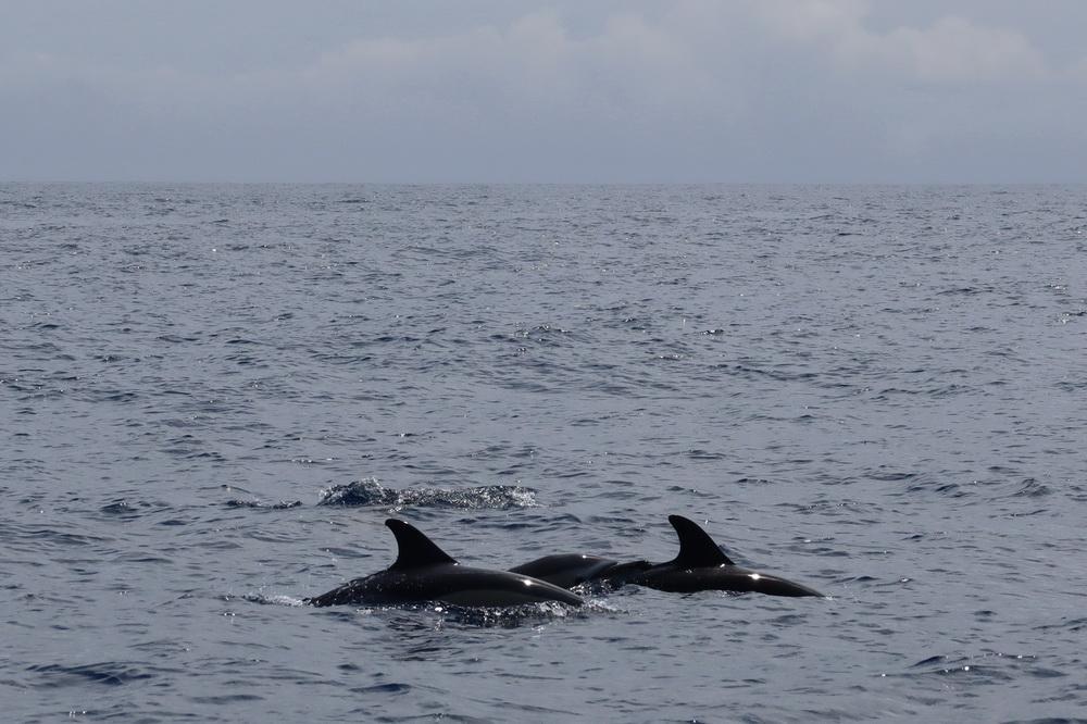 Delfine vor Pico