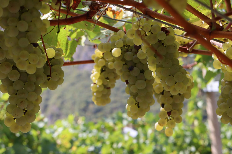 Weinanbau am Castel Beseno