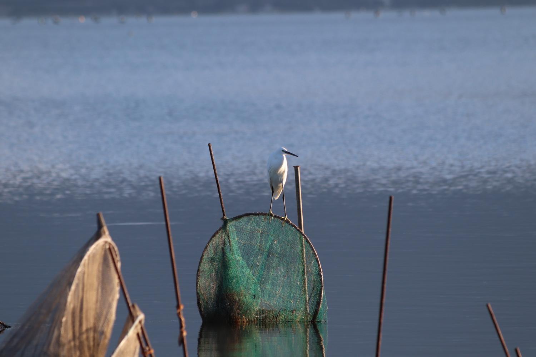 Fischreiher am Lago di Varano