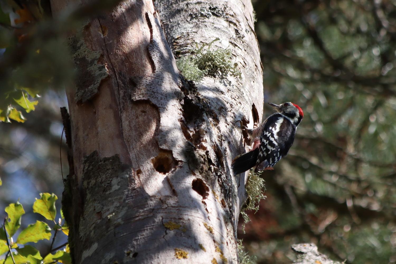 Foresta Umbra- Buntspecht