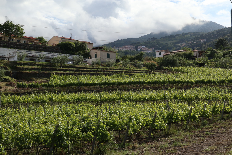 Weinberg in Marciana