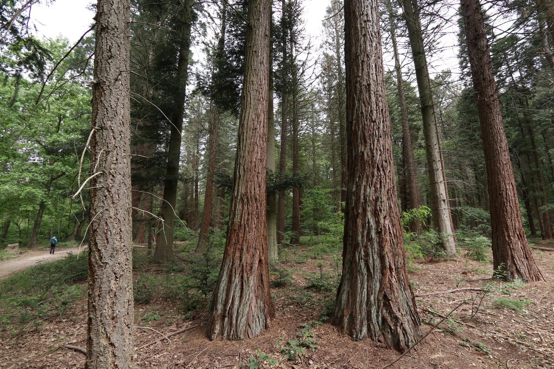 Redwoods an der holländischen Grenze