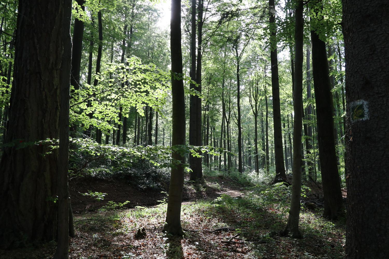 Lichtdurchfluteter Eifel- Wald