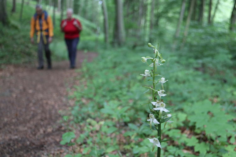 Orchidee Berg- Waldhyazithe (Palanthera Chloranta)
