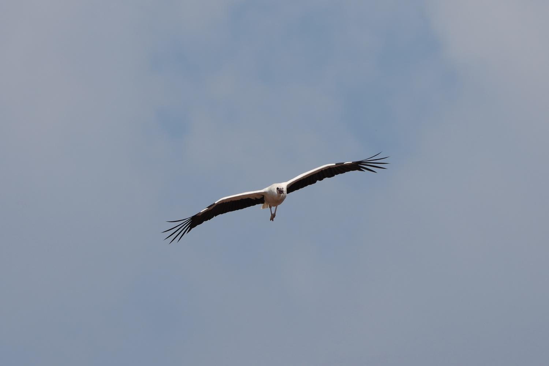 Storch im Anflug- Tangermünde