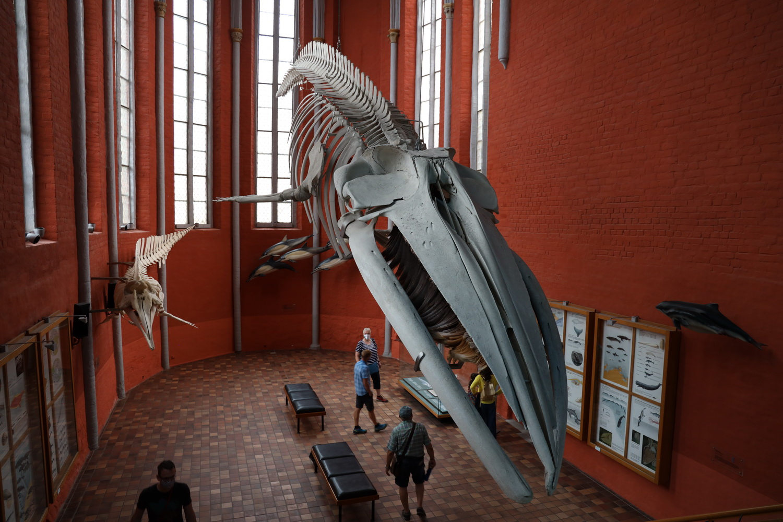 Deutsches Meeresmuseum Stralsund- Finnwal- Skelett