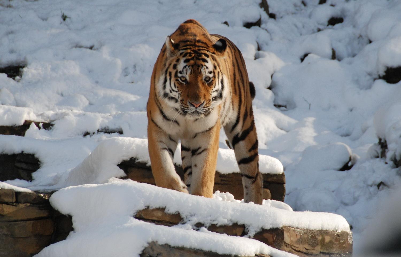 Sibirischer Tiger im Schnee- Wuppertaler Zoo 2008