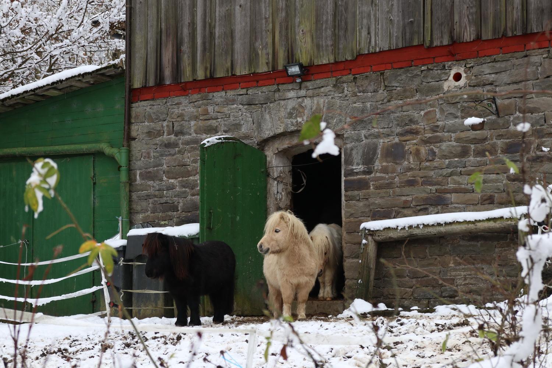 Shetland- Ponys in Dreschhausen