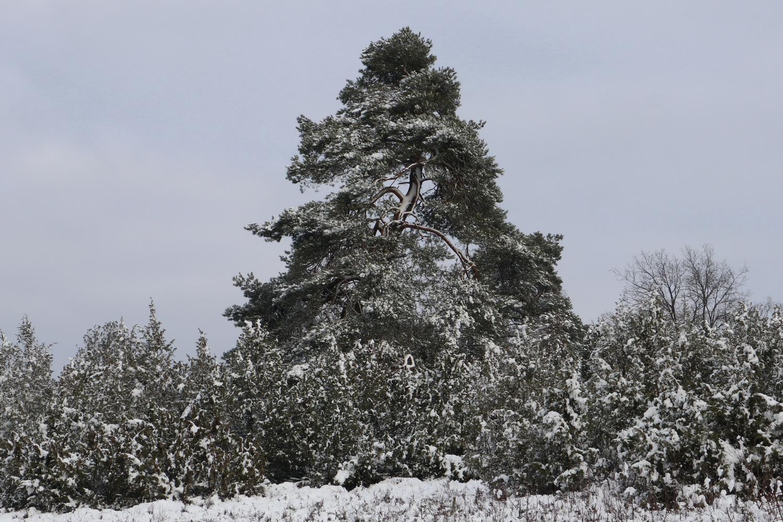Alter Wacholder- Baum am Weg