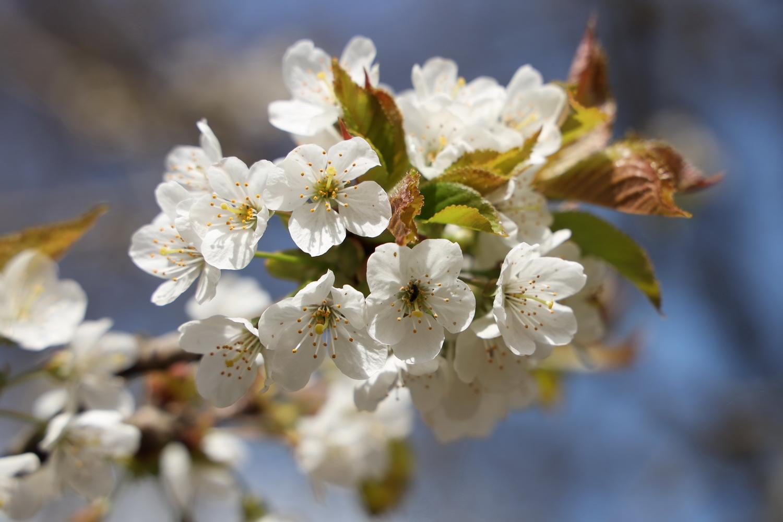 Wildkirsch- Blüte