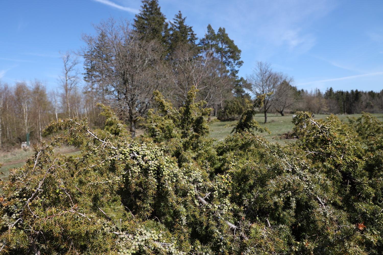 Wacholder auf der Blumenrather Heide am Brauberg