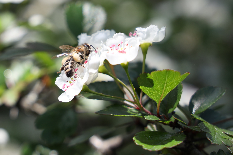 Biene auf Weißdorn-Blüte