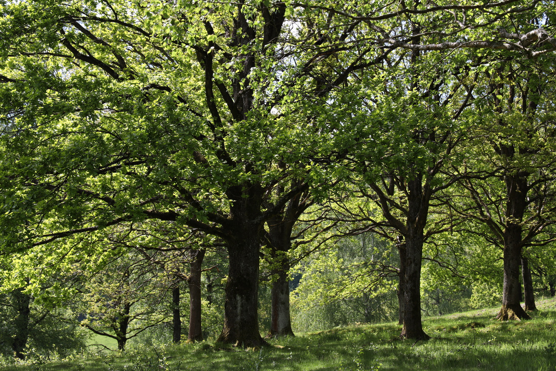 Alte Laubbäume bei Holzhausen