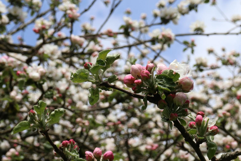 Apfelblüten 1