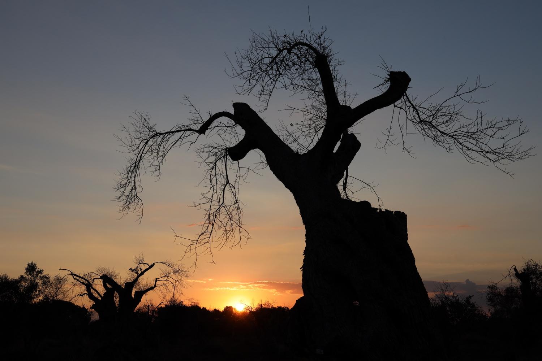 Sterbende Olivenbäume