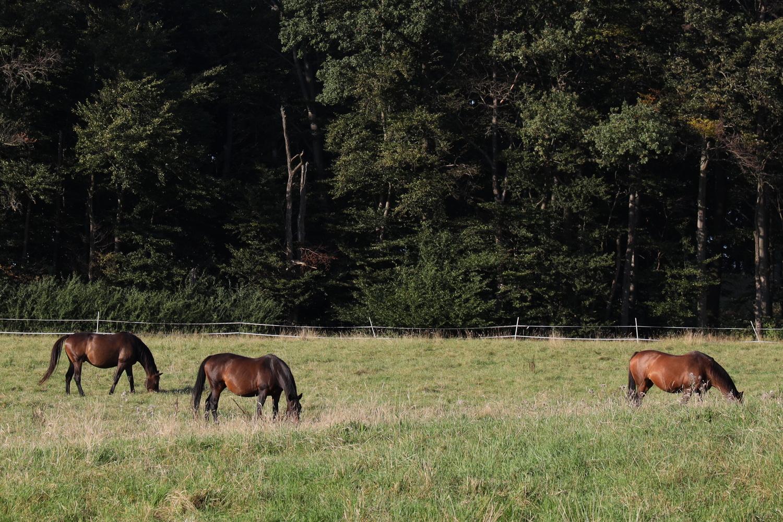 Senner Pferde an Haus Berkenkamp